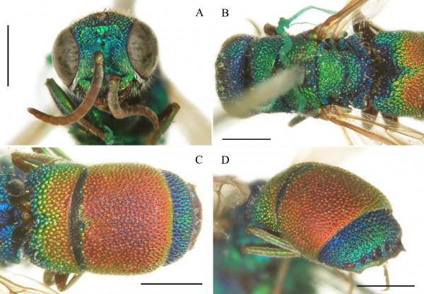 Figure 2_Chrysis zonata-type.jpg